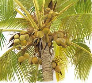 How to open green coconuts for water