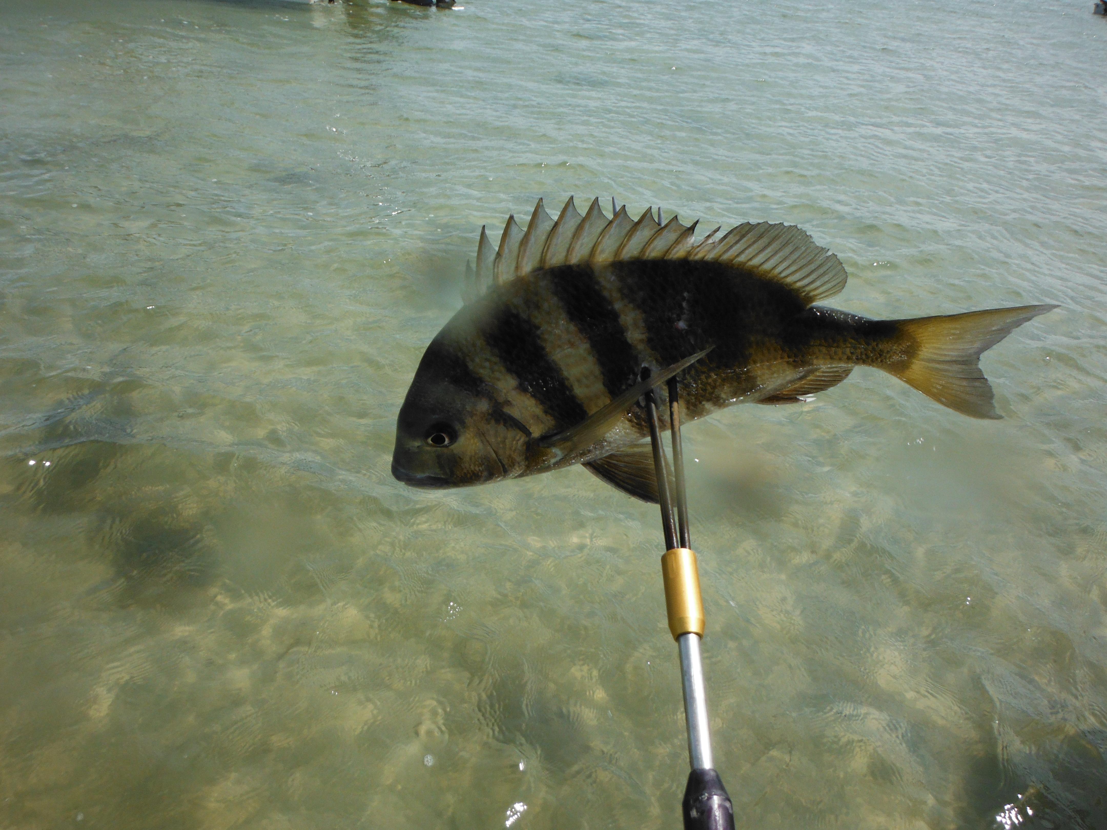 Build your own pole spear florida hillbilly for Create a fish