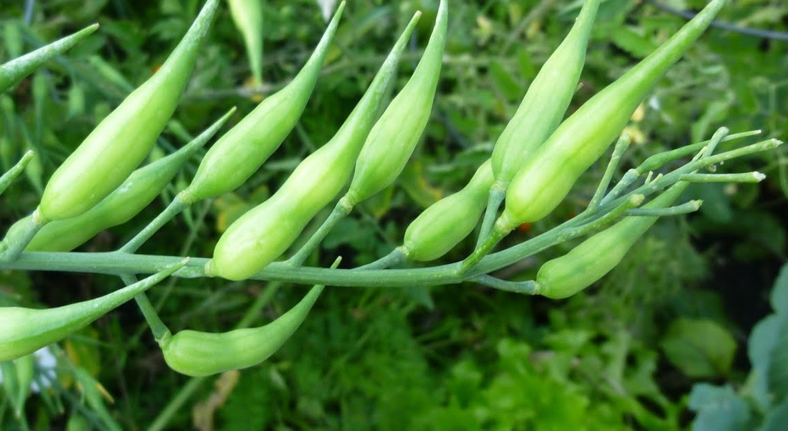 Rat tail radish pods