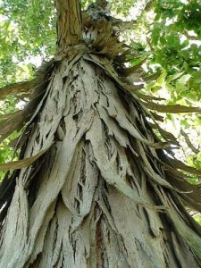 Shag Bark Maple http://floridahillbilly.com/hickory-bark-syrup/