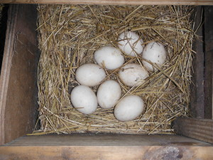 Muscovy Eggs in a Nest