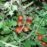 Everglades Tomatoes