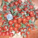 Everglades Tomatoes I picked in about two minutes