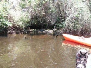 Alligator and kayakers