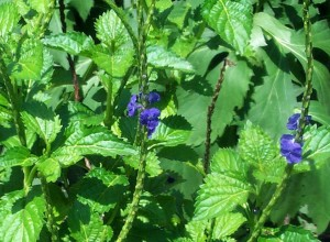 Blue Porterweed