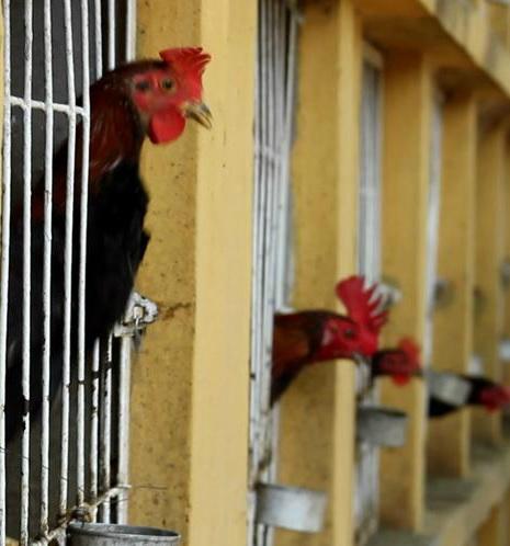 chicken jail
