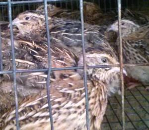 cotournix quail