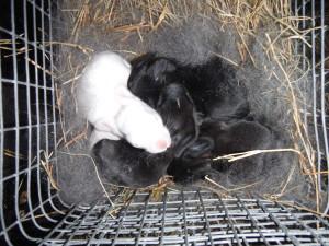 Black New Zealand rabbits